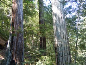 Redwoods on hill